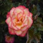 Rose-Sheila`s Perfume112