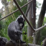 Silvered leaf Langur with its baby12
