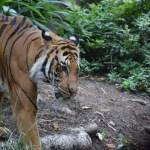 Tiger from closer12