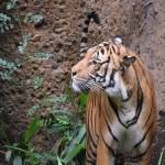 Tiger profile12