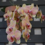 Yellow Orchid with purple pattern12