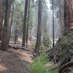 Forest in Sequoia12