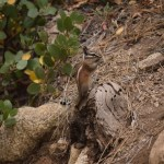 Golden-mantled ground squirrel on lookout12