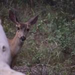 Mule deer peek-a-boo112
