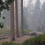 Pine triplets on a smoky morning12