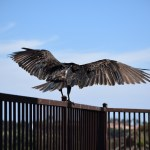 Turkey Vulture takes off from fence12