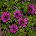 Dark purple daisies at the evening12