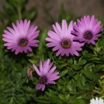 Dark purple daisies12