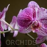 Purple-white Orchid12T
