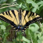 Western Tiger Swallowtail Butterfly12BaI