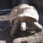 Aldabra Tortoise12