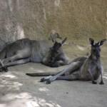 Chilling Western Gray Kangaroos12