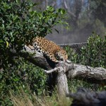 Jaguar resting on a tree branch12