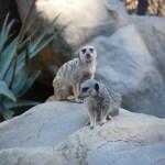 Meerkats on a rock12