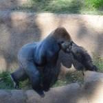 Walking Gorilla12