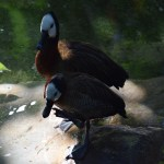 White-faced Whistling Duck couple12