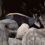 Yellow-backed Duiker behind rocks12