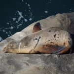 Sleeping Sealion12