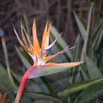 Bird of paradise in focus12