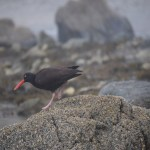 Black Oystercatcher12