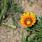 Orange Gazania12