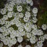 White Meadowsweet12