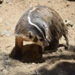 Badger12