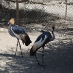 East African Crowned Crane couple12