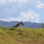 Giraffe behind the hill12