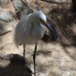 Snowy Egret profile12