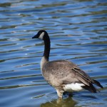 Canadian Goose in a lake12