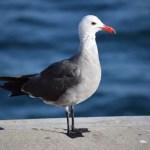 Seagull12