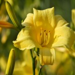 Yellow Lily12