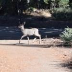 baby-mule-deer12