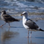 Adult and juvenile seagull12