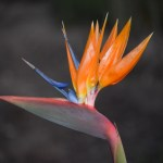 Bird of paradise with blurry backround