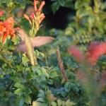 Drinking hummingbird in the sun12