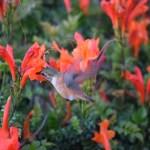 Drinking hummingbird up close12