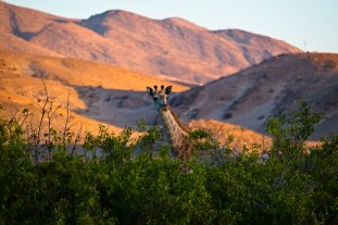 Giraffe peeking over the brush