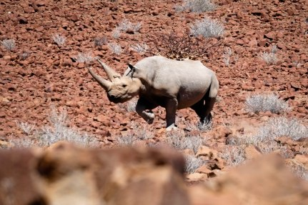 "A black rhino, ""Tito"" flees passed our group"