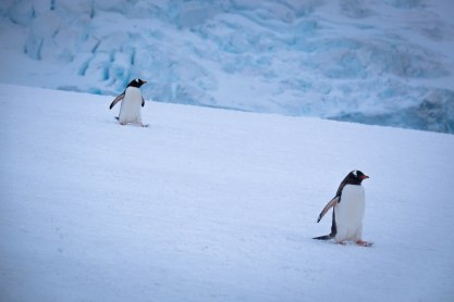Gentoo pengions wander across an ice pack in Niko Bay, Antarctica