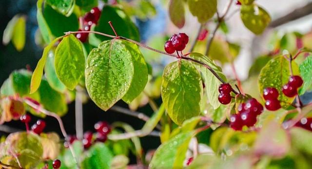 Garden Variety: Know your honeysuckle — native or invasive ...