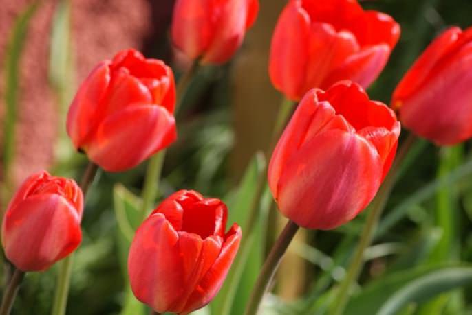 Сегодня тюльпан считается одним из самых красивых растений, культивируемых человеком