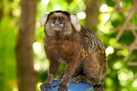 Aratuba Monkey