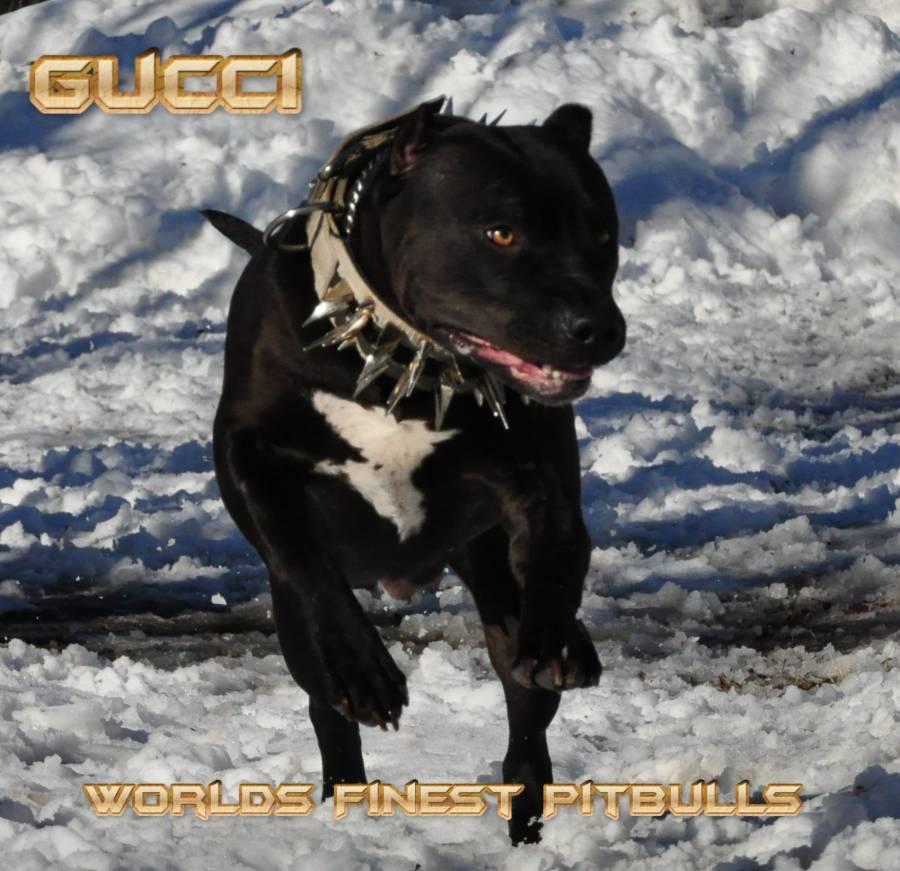 Black Razor Edge Pitbull Puppies
