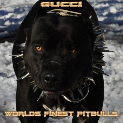Absorbing Tan Mutt Beagle American Pit Bull Terrier Mix