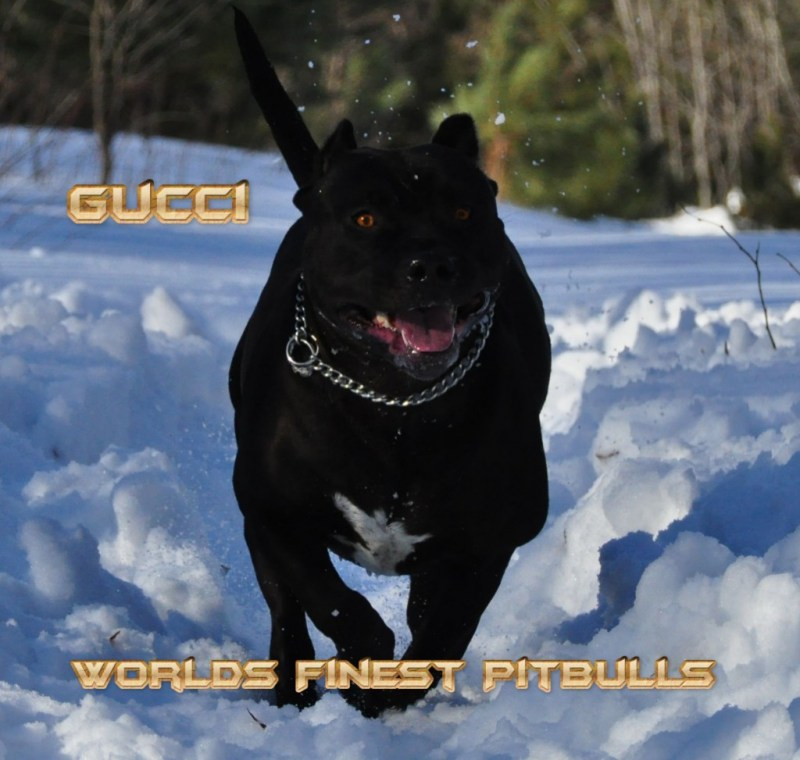 Special A Black Pit Bull Dog A Black Pit Bull Dog Clipart By