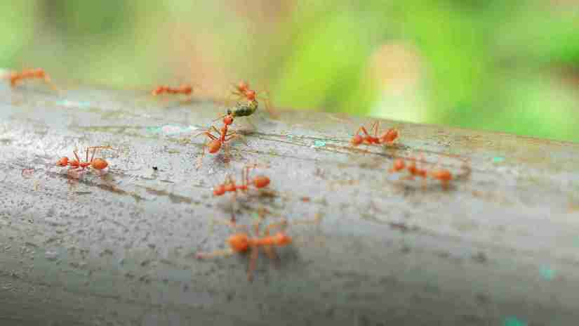 how-to-get-rid-of-ants-naturally