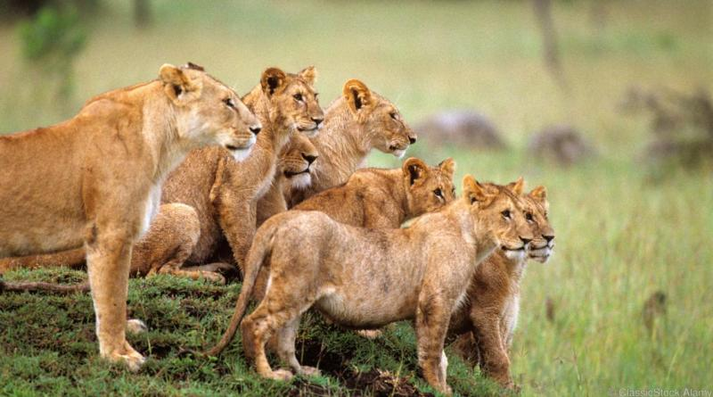 Lions Killed In South Africa After Escaping Kruger Reserve