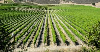 Vineyard in California's wine country